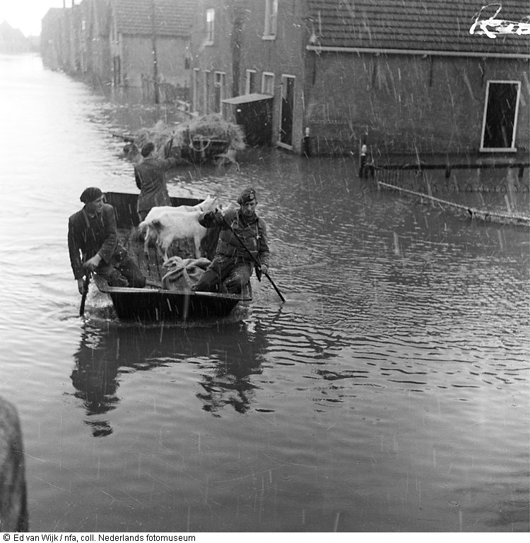 Men in boat evacuate livestock from flooded street just after the flood, New Zealand (1953)
