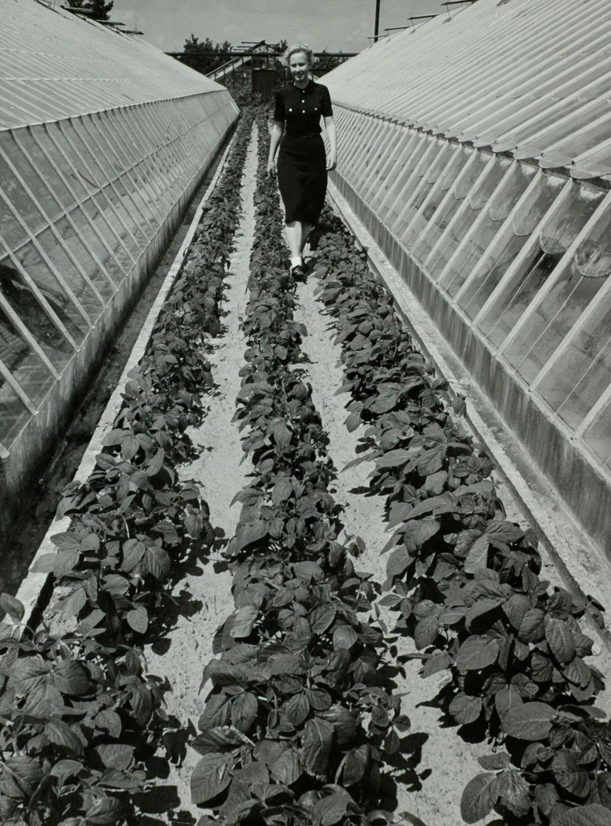 Groentekwekerij in Westland: sojabonen tussen de kassen