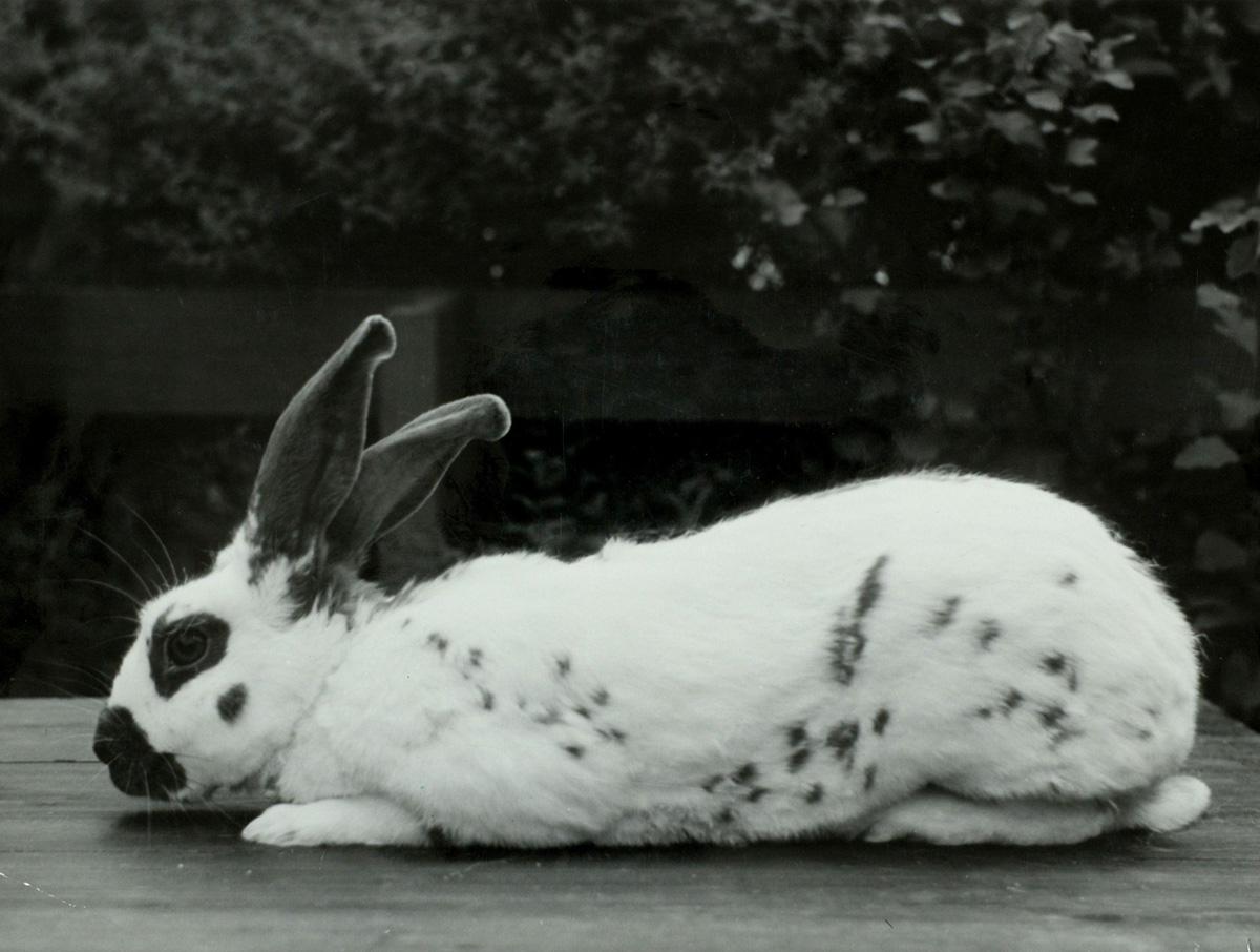 Afbeeldingsresultaat voor papillon konijn